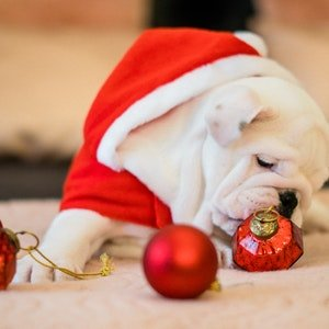 Holiday%20bulldog