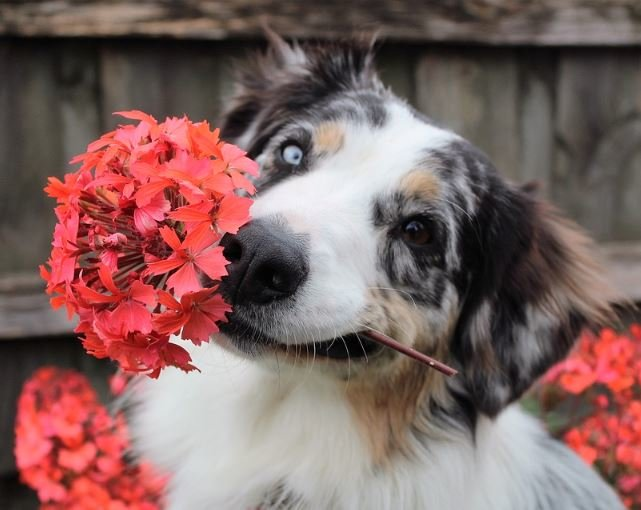 Dog holding a spring flower in his mouth