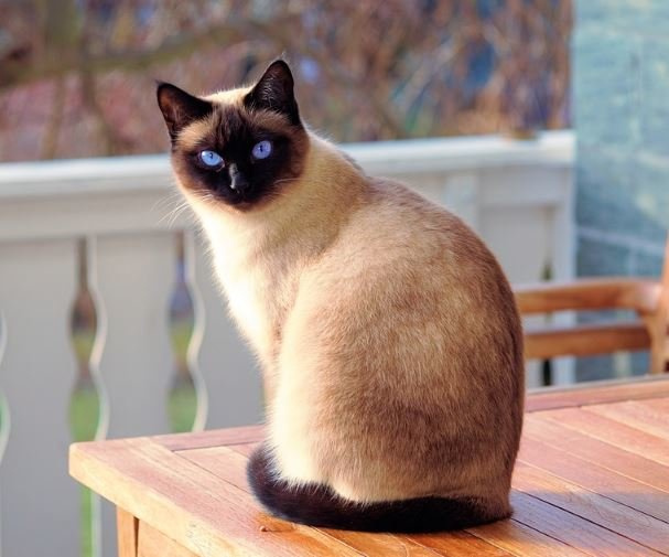 Siamese cat sitting on a table.
