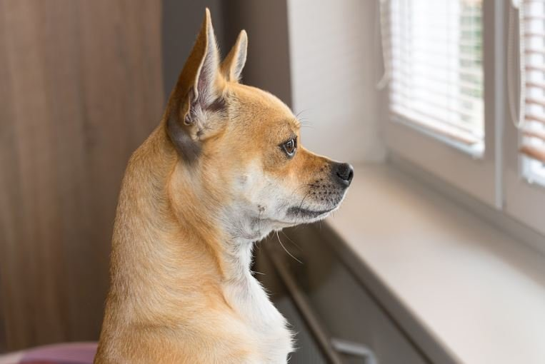 Dog staring out window at home